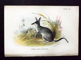 Lloyd 1890's Antique Print. Common Rabbit-Bandicoot, Australia Native